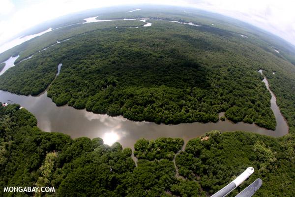 Wajah angkasa dari hutan mangrove yang masih baik di pulau Kalimantan.  Foto: Rhett Butler