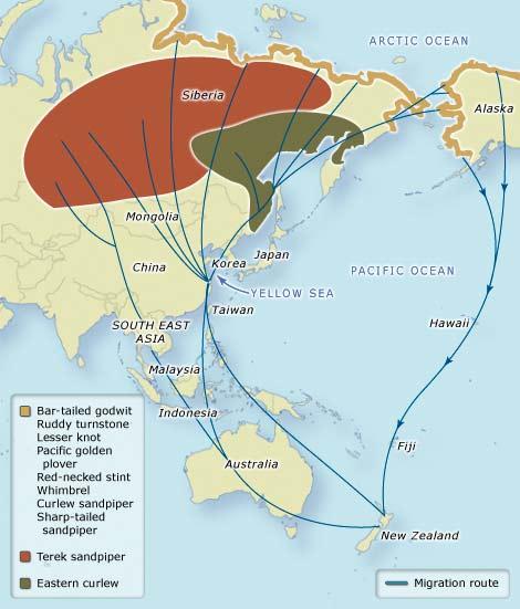 Peta Migrasi Burung Asia Pasifik. Sumber: www.teara.govt.nz