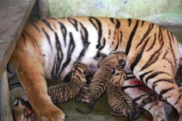 Anak-anak Harimau Sumatera itupun lahir, dan mereka akan meneruskan hidup di jeruji besi kebun binatang Medan. Foto:  Ayat S Karokaro