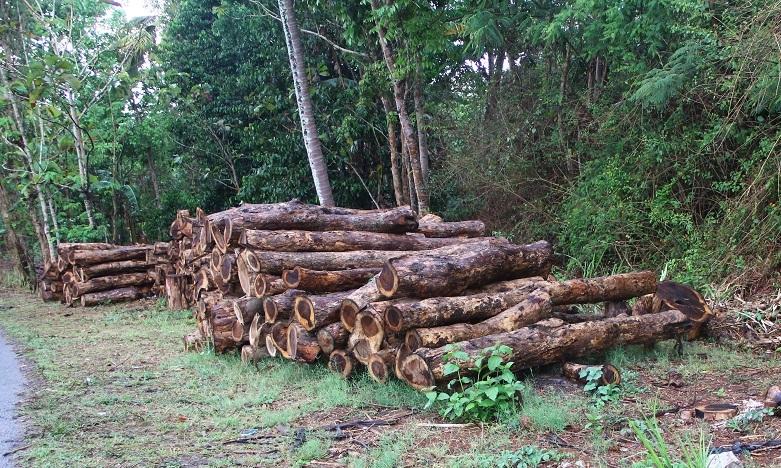 Potongan batang kayu yang layak tebang akan memberikan keuntungan ekonomi bagi masyarakat dan lingkungan. Foto : Tommy Apriando