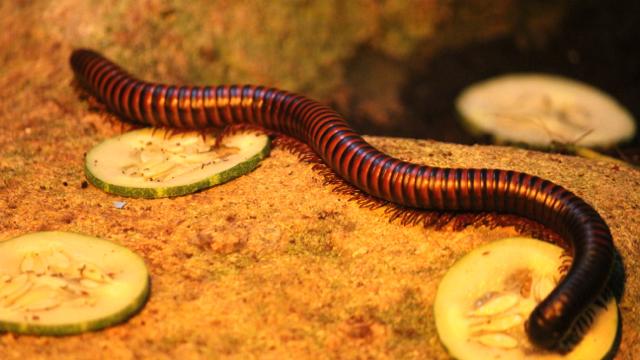 Ulat kaki seribu di Penang, Malaysia. Spesies ini memakan sisa-sisa tumbuhan dan kotoran yang keluar bisa meningkatkan zat hara. Foto: Ayat S Karokaro