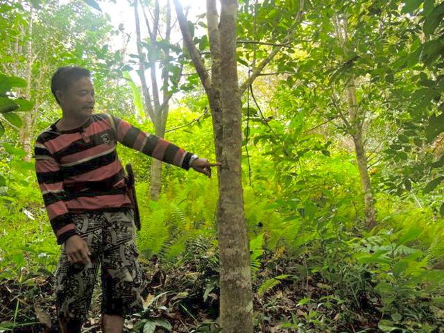 Markus Ilun memperlihatkan pohon Gaharu di hutan adat.Foto: Christopel Paino
