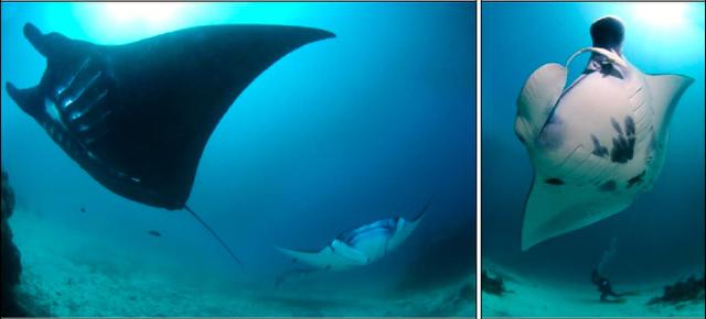 Manta karang. Foto: Conservation International