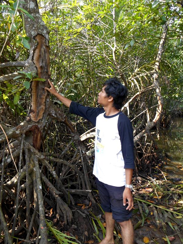 Riki memegang pohon Rhizopora apiculata yang kulitnya diambil oleh nelayan untuk mewarnai jaring. Aktivitas  itu dapat memicu kematian pohon. Foto: Dedek Hendry
