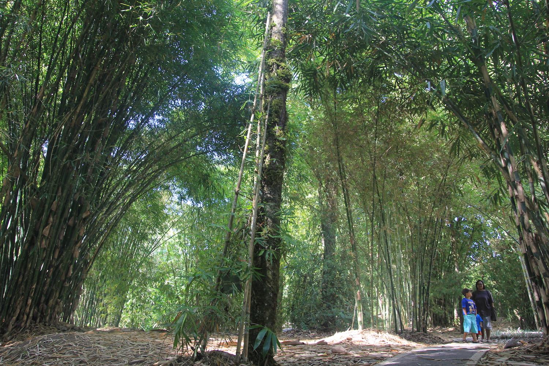 Taman Bambu di Kebun Raya di Kebun Raya Eka Karya, Bedugul, Tabanan, Bali, menampilkan aneka tanaman bambu di Indonesia | Foto Anton Muhajir