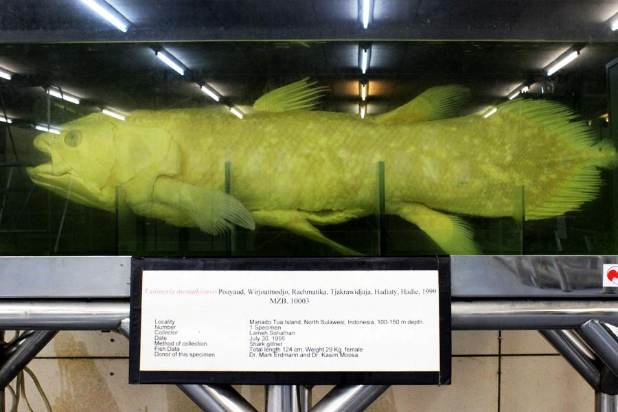 Ikan purba Latimeria menadoensis yang berada di Gedung Widya Satwaloka, LIPI, Cibinong, Bogor. Foto: Rahmadi Rahmad