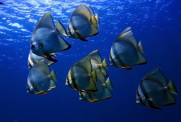 Sekelompok ikan batfish di perairan Bali | Foto: Anton Wisuda/Mongabay Indonesia