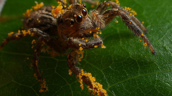 Jumping spider. Foto: Nick Hobgood, University of South Pacific