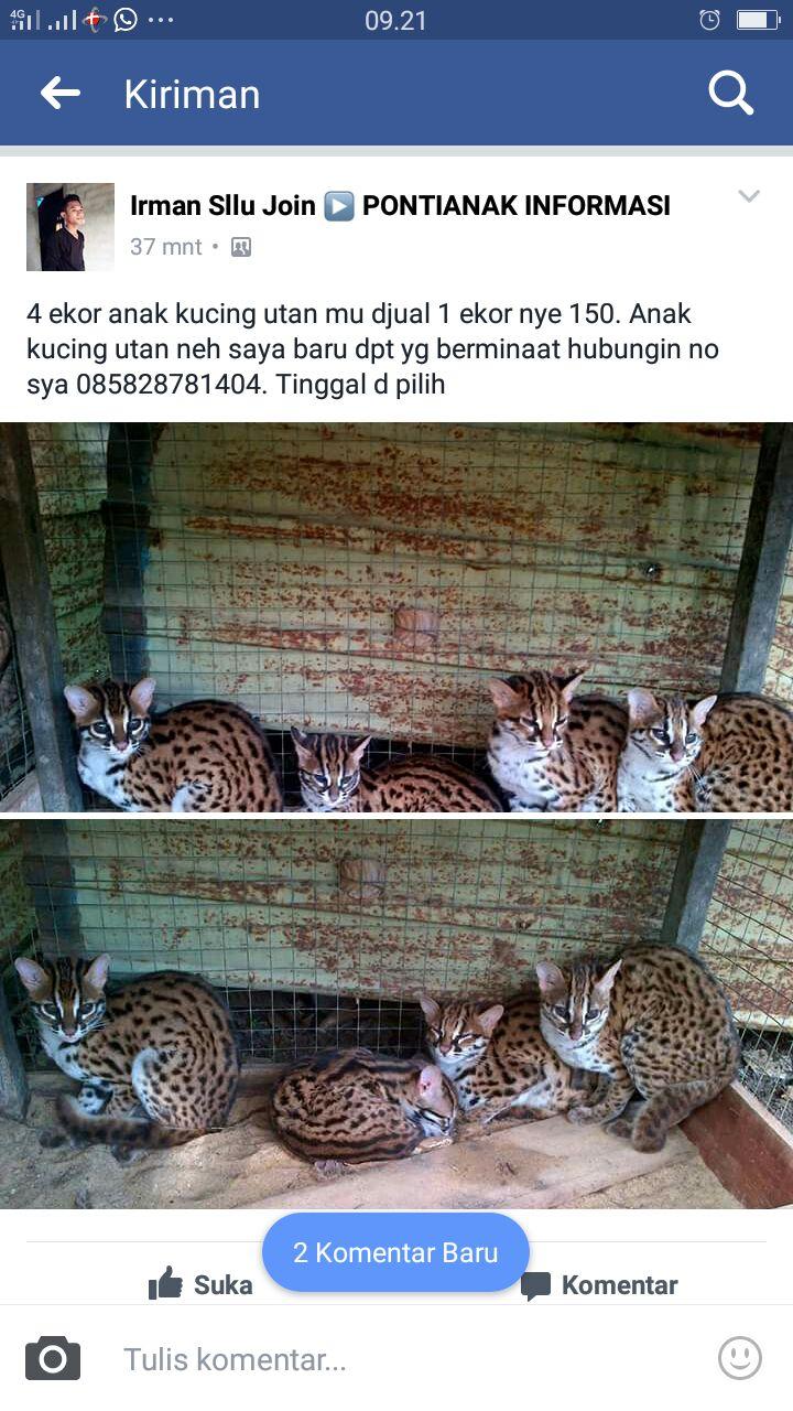Kucing hutan yang ditawarkan secara online oleh Asman. Foto: akun Facebook Irman Sllu Join