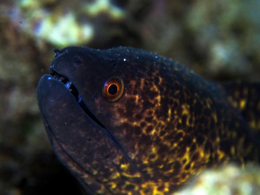 Moray eel yang ditemukan di perairan Puru Kambera di Sumba Timur, Nusa Tenggara Timur. Foto : Wisuda