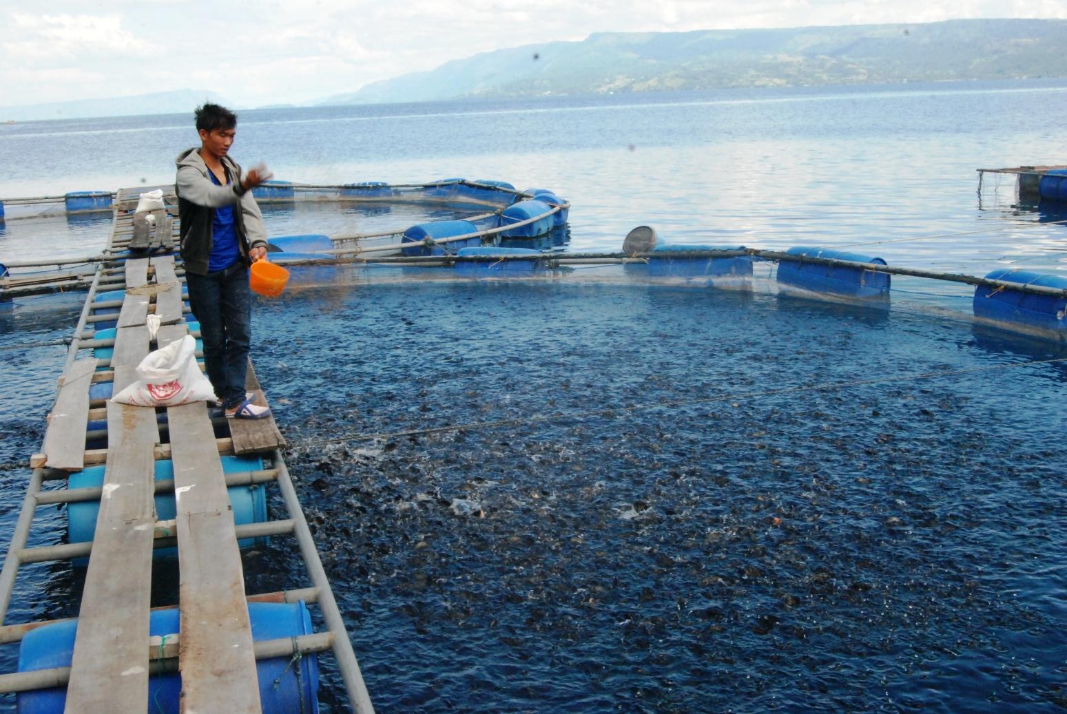 Ancaman Kematian Massal Intai Budidaya Nila Dan Mujair Kenapa