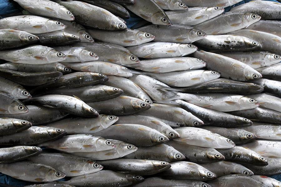 Ikan merupakan sumber kehidupan utama nelayan tradisional. Foto: Junaidi Hanafiah/Mongabay Indonesia