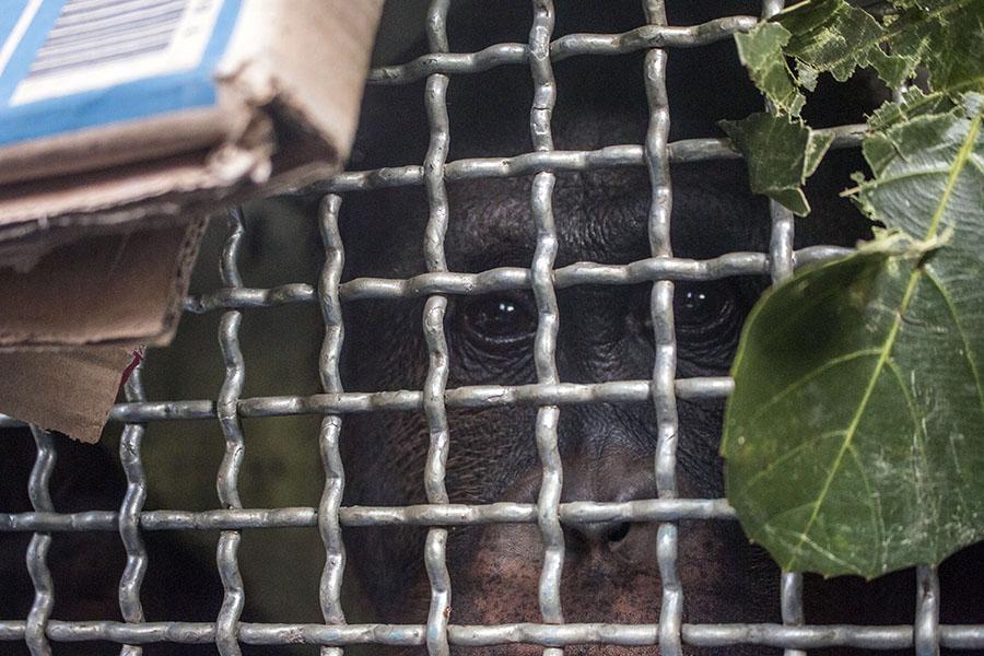 Melky yang kini hidup bebas di Gunung Tarak, Kalimantan Barat   Foto: IAR Indonesia/Heribertus Suciadi