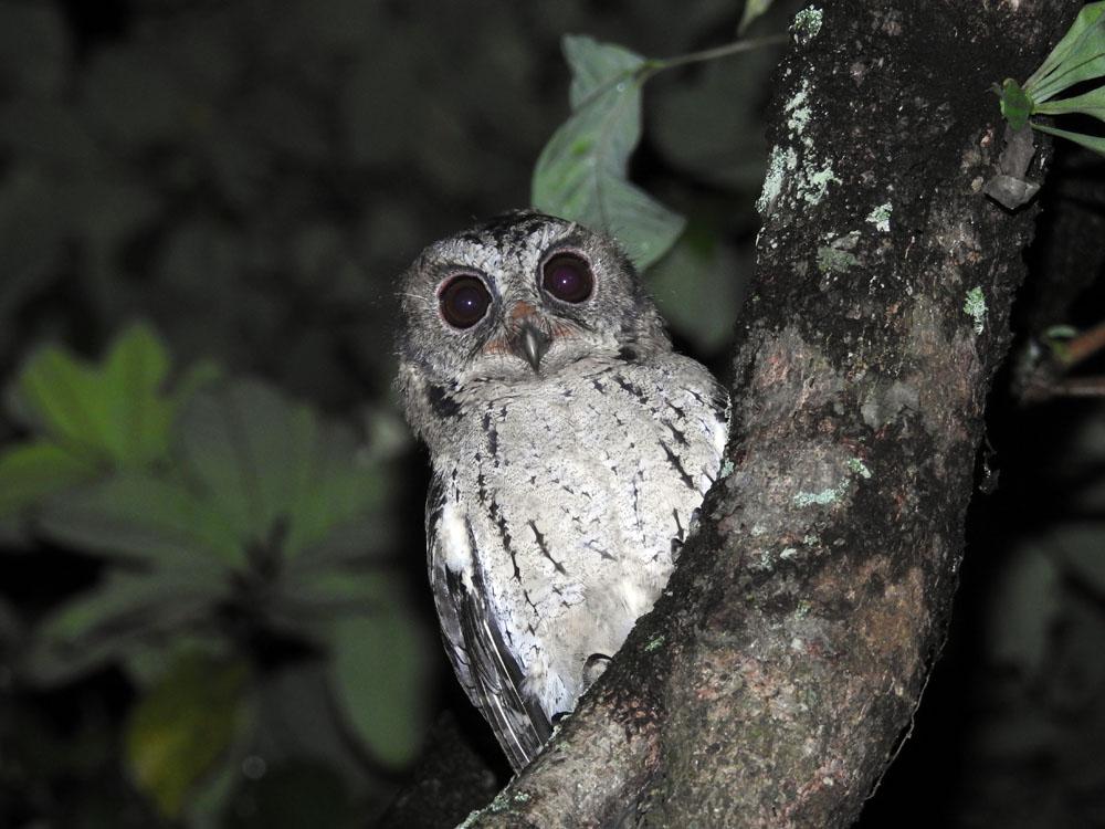 85 Foto Gambar Burung Hantu Tanpa Warna  Terbaru Free
