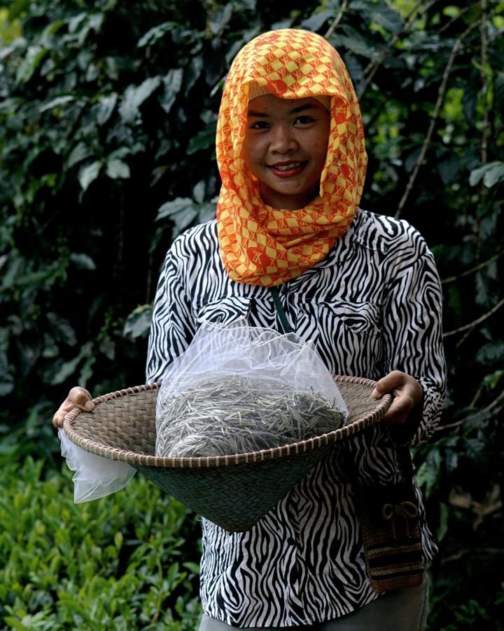 Seorang pekerja perempuan perkebunan teh memperlihatkan teh putih kering. Foto : Anton Wisuda/Mongabay Indonesia