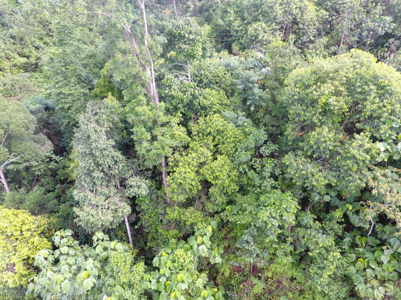 Hutan alam yang masuk izin HKM koperasi, yang ngurus perusahaan. Warga Pulau Padang menolak hutan alam jadi akasia. Foto: Suryadi/ Mongabay Indonesia