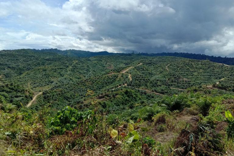 Ribuan hektar kebun sawit itu dulu hutan dan kebun warga. Ia merupakan habitat satwa, termasuk burung endemik Maluku Utara. Ke manakah mereka kini kala habitat jadi kebun sawit? Foto: Ajun Thanjer