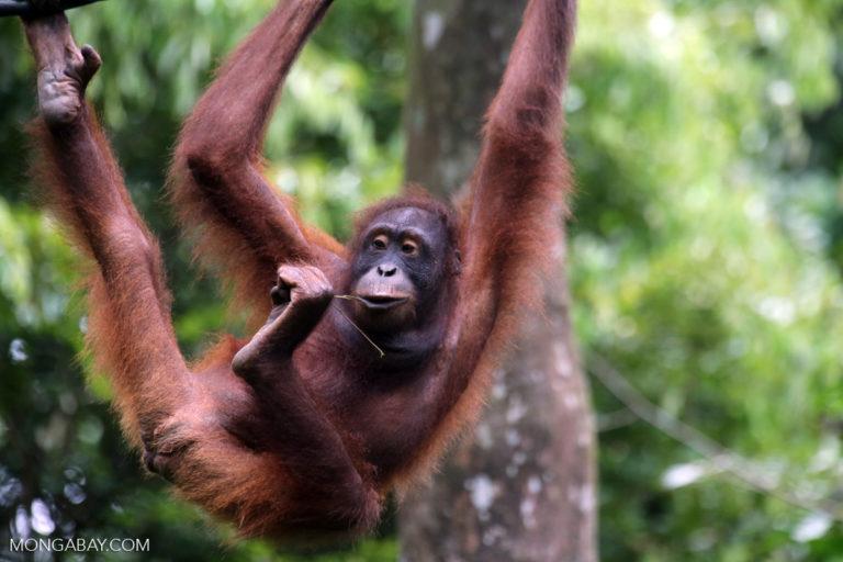 Orangutan Kalimantan di Sabah. Foto: Rhett Butler/ Mongabay